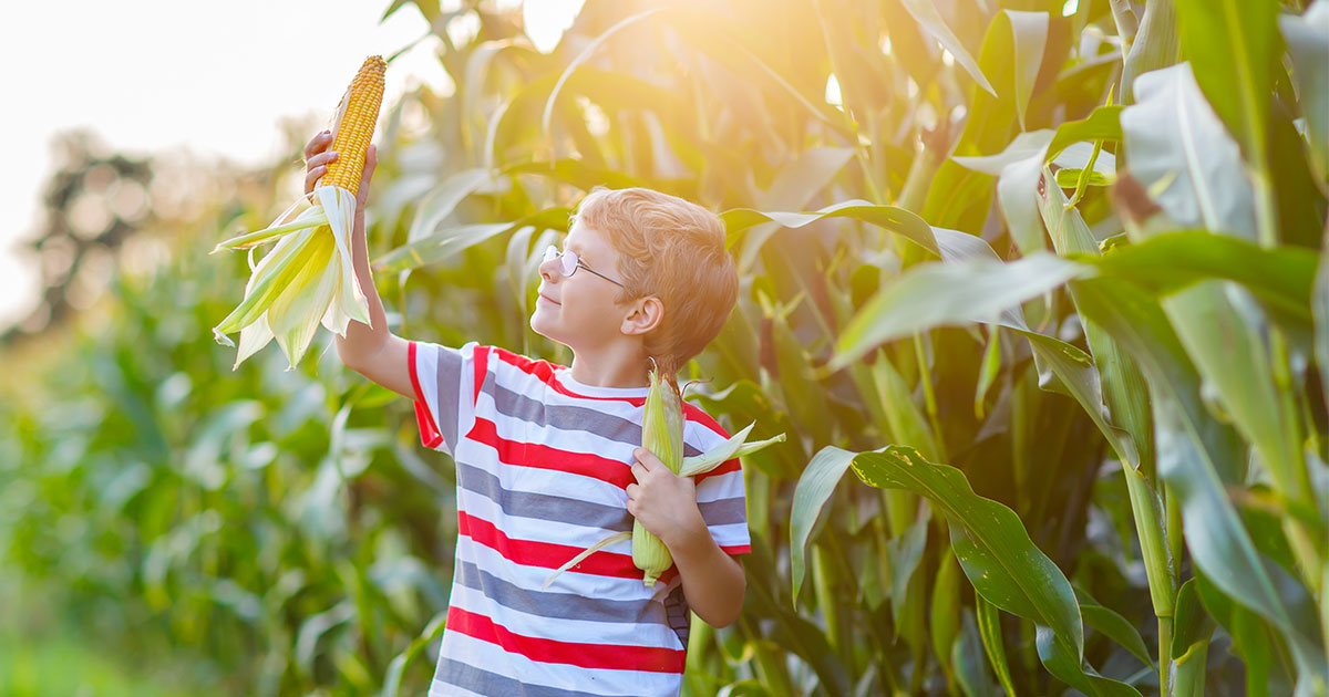Child holding up a cob of corn beside a corn field